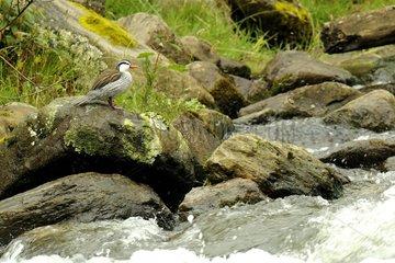 Torrent Duck male in Ecuador