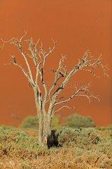 Dead tree in the dunes of the Namib desert Namibia