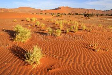 Vegetation on the dunes of the Namib desert Namibia
