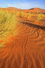 Animal tracks on a sand dune in the Namib desert Namibia