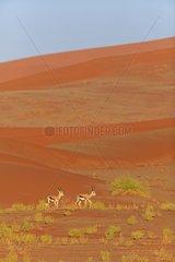 Springboks moving in dunes in the Namib Desert Namibia