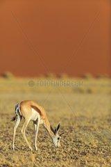 Springbok grazing in front of dunes in the Namib Desert