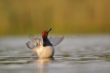 Comon Pochard male snorting on water Dombes France