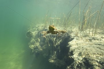 Common toad swimming in a lake Jura France