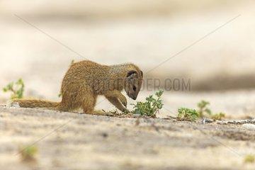 Young Yellow Mongoose sniffing a plant Desert of Kalahari