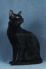 Chestnut Havana cat