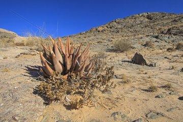 Aloe on rock in the Namib desert Namibia