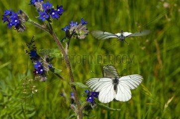 Black-veined White courtship behaviour at spring Denmark