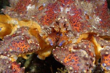 Portrait of Puget Sound king crab - Alaska Pacific Ocean