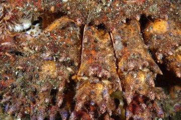 Paws of Puget Sound king crab - Alaska Pacific Ocean