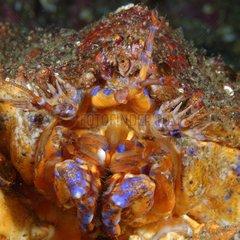 Puget Sound king crab - Alaska Pacific Ocean