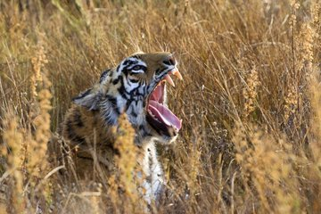 Portrait of Bengal Tiger lying in grass