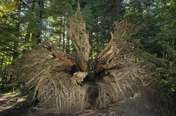 Downed tree in Cathedral Grove undergrowth Canada