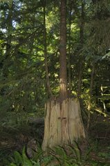 Tree growing on a stump Cathedral Grove Canada