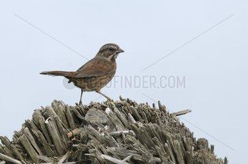 Lincoln's Sparrow on Deadwood Push U.S. Olympic NP