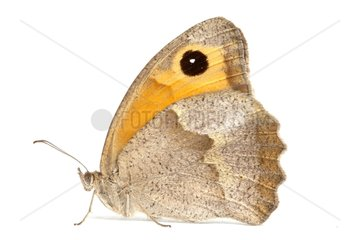 Meadow Brown profile on white background