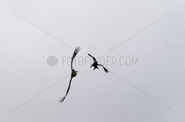 Spanish Imperial Eagle attacking a Vulture in flight Spain