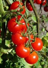 Tomatoes 'Harmony'