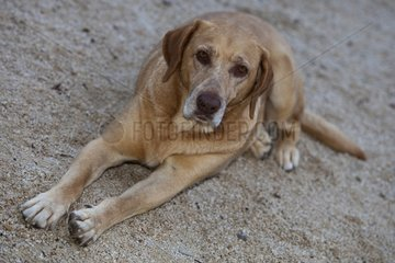 Mongrel dog lying on the sand Provence France