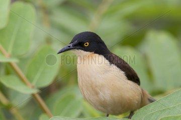Common Tody-Flycatcher on a branch Pantanal Brazil