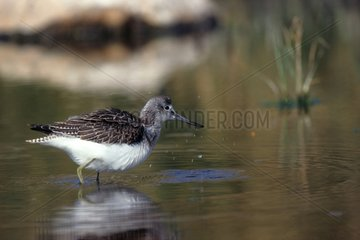 Greenshank in the water during a stopover France