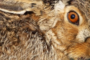 Eye of a Brown Hare at spring GB