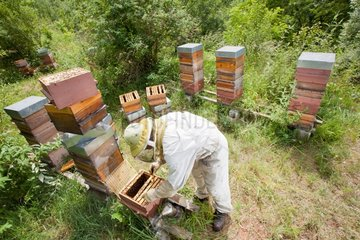 Beekeeper in an apiary hives type Warré France