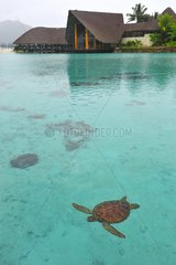 Green turtle swimming in the lagoon Bora Bora French Polynesia