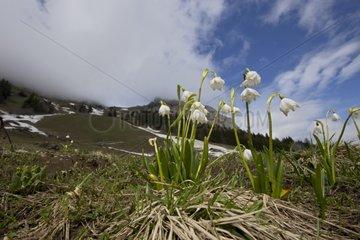 Spring Snowflake flowers - Swiss Alps