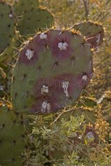 Cochineal Bugs on Prickly Pear Cactus Arizona