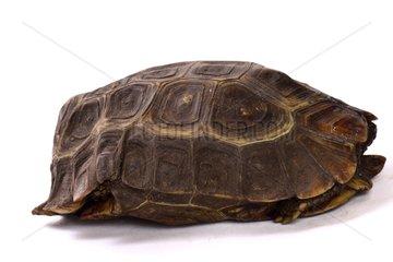 Home's Hinge-back Tortoise on white background