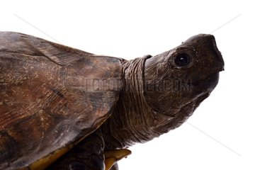 Portrait of Home's Hinge-back Tortoise on white background