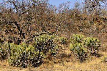 Common Tree Euphorbias in savana - Kruger NP South Africa