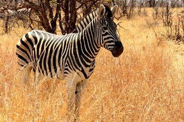 Burchell's Zebra in savana - Kruger NP South Africa