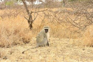 Green Monkey sitting in savana - Kruger NP South Africa