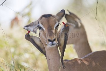 Red-bellied Oxpecker on Impala Kruger South Africa
