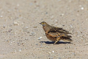 Burchell's Sandgrouse snorting on the floor of a track RSA
