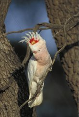 Pink Cockatoo on branch South Australia
