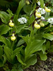 Yellow ladyslippers and ramsons in bloom in a garden