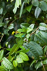 Basilisk on foliage Santa Elena Cloud Forest Costa Rica