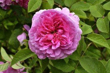 Rose-tree 'Julie de Mersan' in bloom in a garden