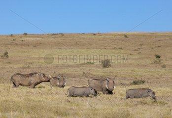 Warthogs in savana - Addo Elephant NP South Africa