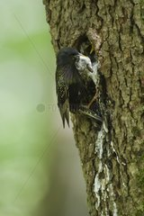 Common Starling at nest Hautes-Vosges France