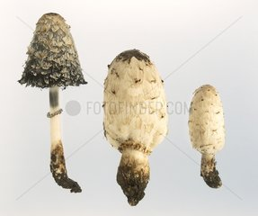 Shaggy Ink-caps on white background
