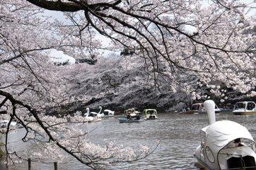 Cherry trees in bloom on Hanami celebration in Japon