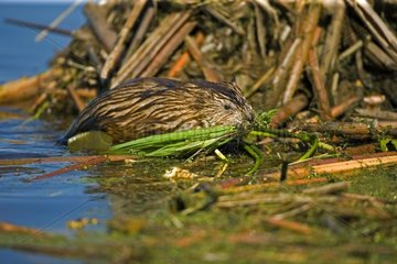Muskrat on a bank with vegetals in it mouth USA