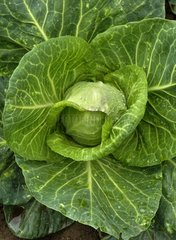 Headed cabbage 'Regency Pointu' hf1 in a kitchen garden