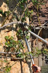 Taking care of a climbing rose-tree in a garden