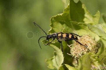 Four banded longhorn beetle on a leaf - Denmark