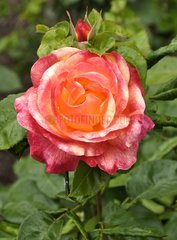 Rose-tree 'Pullman Orient-Express' in bloom in a garden